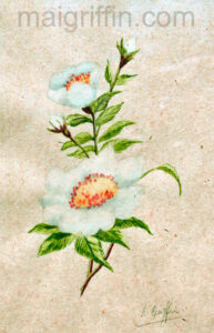 Dog Rose watercolour by Mai Griffin (1970)